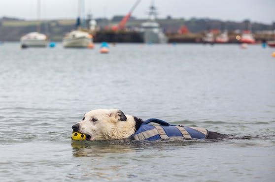 """Border Collie Hündin """"Toobs"""" wurde Anfang des Jahres berühmt, als sie von einem Boot fiel und zweieinhalb Meilen zurück an Land schwamm."""