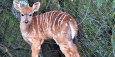 So süß! Antilopen-Nachwuchs im Zoo Linz