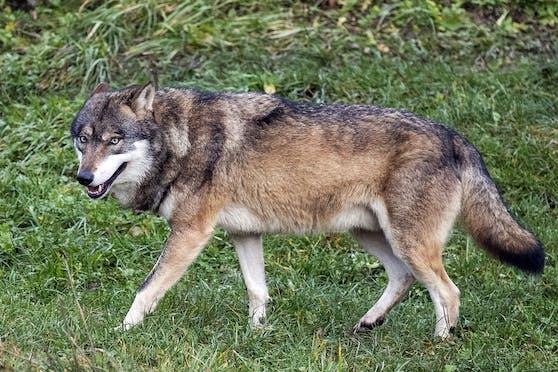 Ein Wolf im Tierpark Goldau, Schweiz. Symbolbild