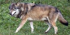 Wolf verfolgt Frau beim Gassigehen