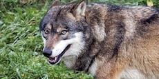 Wetter treibt Wolf ins Tal – von Auto erfasst und getötet