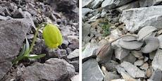 Pflanze tarnt sich zum Schutz vor Menschen als Stein