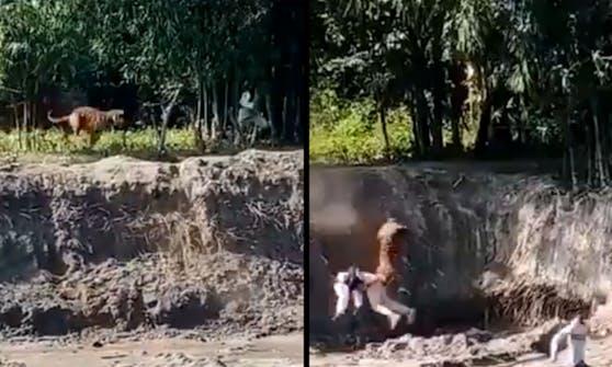 In einem Video eines Augenzeugen, sieht man den Tigerangriff.