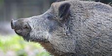 Wildschwein stürmt Kaufhaus, hinterlässt Spur aus Blut