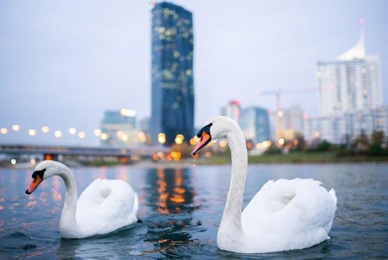 Gegenüber der Donauplatte schwimmen zwei Schwäne in der Donau. Aufgenommen im November 2020