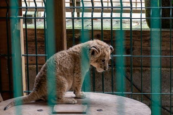 Das kleine, traurige Löwenbaby wurde kommerziell ausgebeutet und musste mit Touristen posieren.
