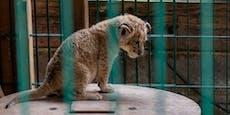 """14 Raubkatzen aus """"Tierschutzzentrum"""" beschlagnahmt"""