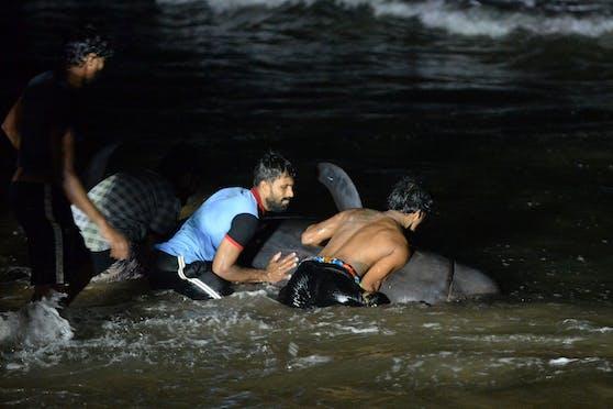 Mehrere Freiwillige und Marinesoldaten retteten 120 gestrandete Grindwale an der Küste Sri Lankas.