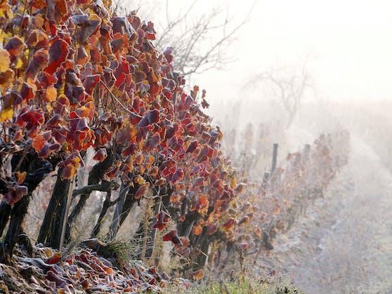 Spätherbstlicher Morgenfrost in einem Weingarten