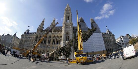 Der Weihnachtsbaum für den Rathausplatz ist da – mittlerweile sogar schon aufgeputzt.