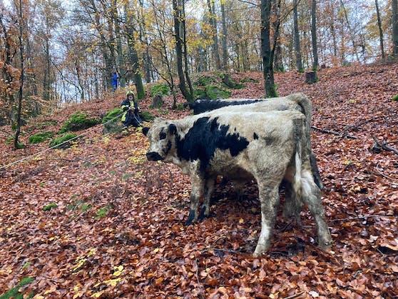 In Bad Mühllacken entkamen Ochsen, einer davon ist noch auf der Flucht.