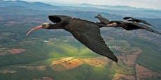 GPS-Sender verursachte Augenschäden bei seltenen Zugvögeln