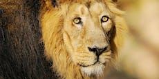 Zoo will gesunden Löwen töten, weil er keinen Sex hat