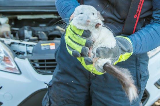 Einer der Nager konnte von der Feuerwehr gerettet werden, hatte sich in einem Auto versteckt.