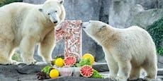 Happy Birthday, Finja! Schönbrunner Eisbär wird 1 Jahr