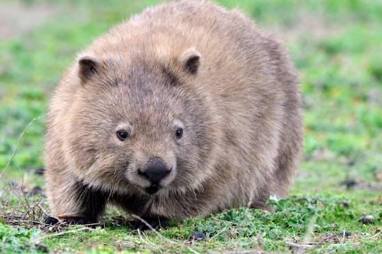 Die knuffigen australischen Wombats sind ebenfalls biofluoreszierend