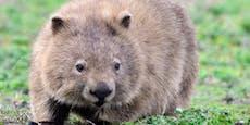 Auch Wombats glimmern grün unter UV-Licht