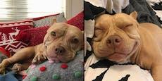 Der Pitbull mit dem Dauerlächeln: Lady Shortcake