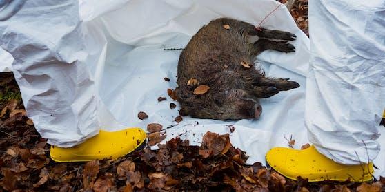 Afrikanische Schweinepest in Bayern: Mitarbeiter der Straßenmeisterei in Schutzanzügen trainieren die Entsorgung eines toten Wildschweins