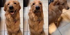 Zum Schreien komisch! Hunde-Reaktion auf Furzgeräusch