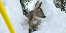 Rekord-Schnee: Jäger fürchten um Wildtiere