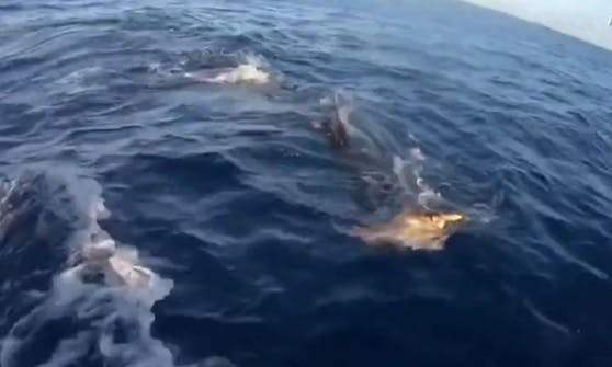 Die Meeresschildkröte versucht alles, um dem Tigerhai zu entkommen.