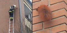 Zu dick? Eichhörnchen blieb in Hauswand stecken