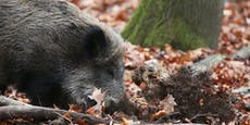 Verletztes Wildschwein in Hietzing erschossen