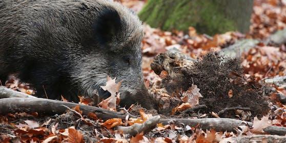 Ein verletztes Wildschwein lief heute früh quer durch Hietzing und musste von der Polizei erschossen werden.