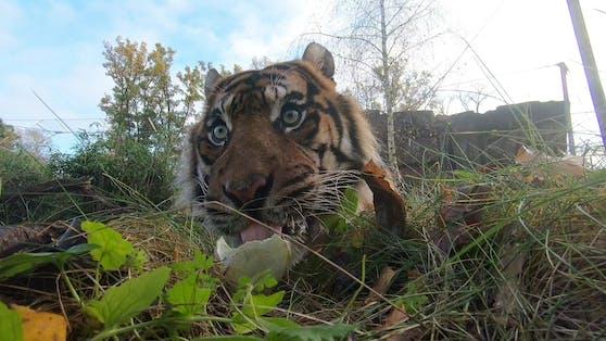 Ein privat gehaltener Tiger in Tschechien wollte sich nicht streicheln lassen.