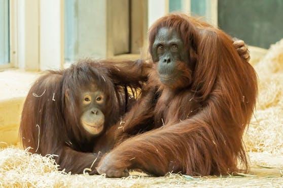 """Orang-Utan Mädchen """"Surya"""" (links) hat sich schon sehr gut eingelebt und bildet mit der alten """"Mota"""" ein tolles Team."""