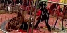 Tiger geht bei Zirkus-Auftritt auf Dompteur los