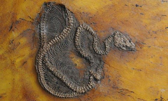 Ein 47 Millionen Jahre altes Python-Fossil wurde in der Grube Messel bei Darmstadt gefunden.