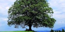 """Der """"Baum des Jahres"""" ist ein echter Bienenschützer"""