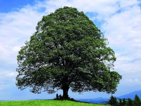 """Die Linde ist der """"Baum des Jahres 2021"""""""