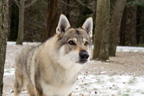 Ein Tschechoslowakischer Wolfshund. Symbolbild