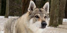 Wolfshunde-Rudel tötet Frau in ihrer eigenen Wohnung