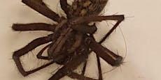 """""""Ungefährliche"""" Spinne beißt Frau ins Krankenhaus"""