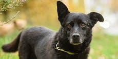 Blinder Hund lief 30 Kilometer wieder nach Hause
