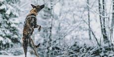 Fantastische Winteraufnahmen der Tierwelt