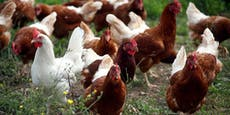 Vogelgrippe-Alarm: Japan tötet eine Million Hühner