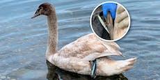Angelhaken steckte in Schwan – Tierhilfe rettet ihn