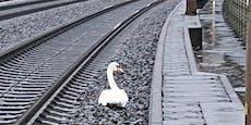Verspätungen: Trauernder Schwan blockiert Zugstrecke