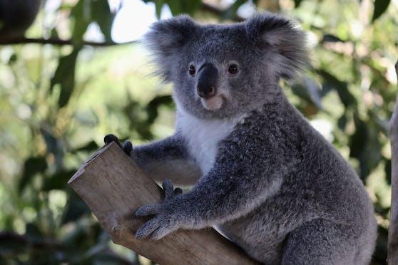 Ein kleiner Koala wäre fast zum Christbaumschmuck geworden.