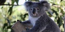 Ups! Koalabär im Christbaum entdeckt