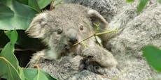 Schönbrunner Koala-Nachwuchs ist ein Mädchen