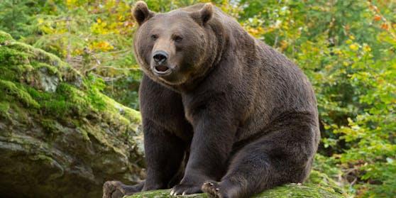Ein Braunbär streift durch die südsteirischen Wälder. (Symbolfoto)