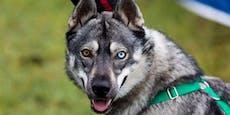 Der mit dem Wolf tanzt - ein Hybrid als Schlittenhund