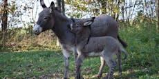 Süß! Babyesel im Tierpark Haag geboren