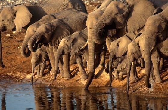 Um die Anzahl der Elefanten zu verringern, will Namibia nun 170 lebende Elefanten verkaufen.